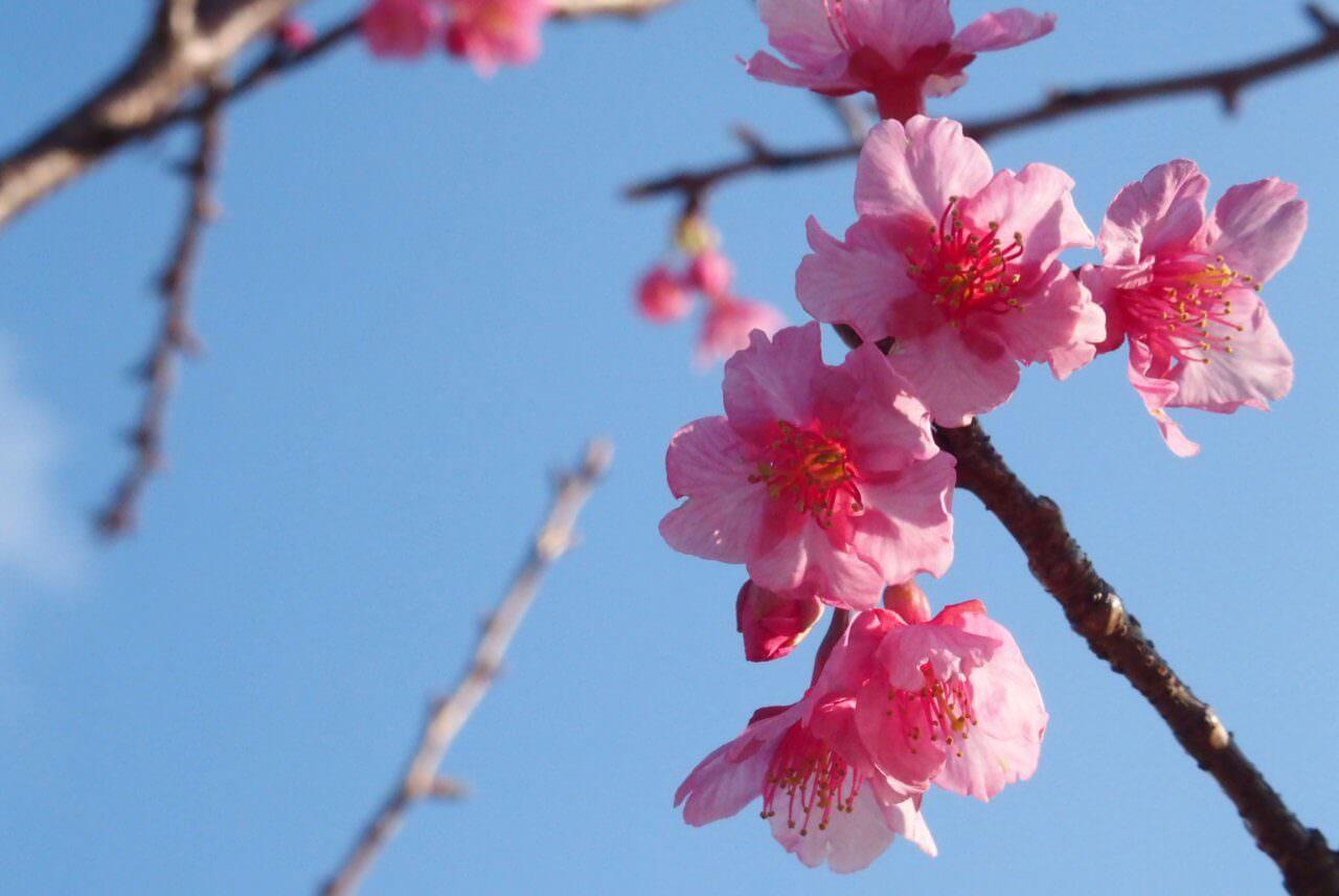 Toi Sakura (Izu, Shizuoka): One of the earliest blooming cherry blossoms in Japan