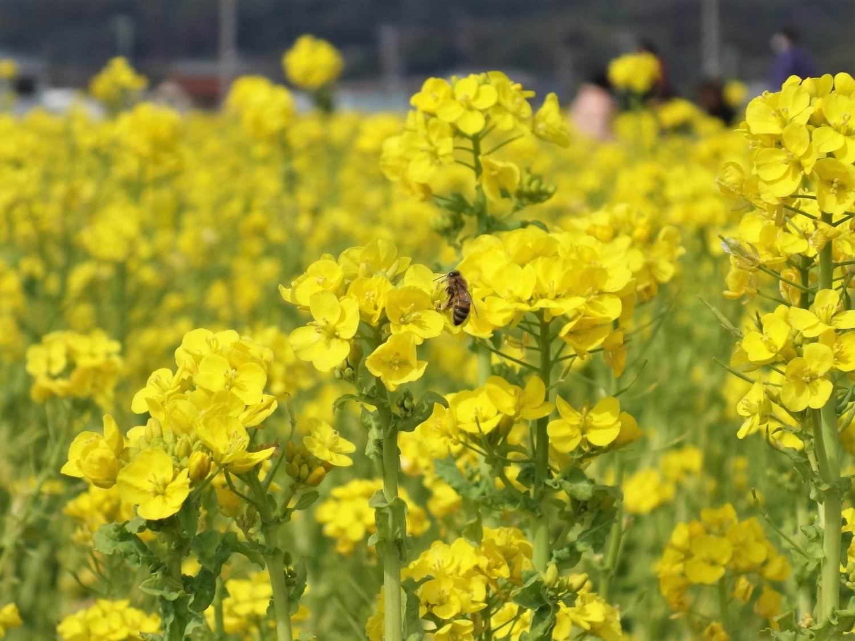 Bee found in canola flower field