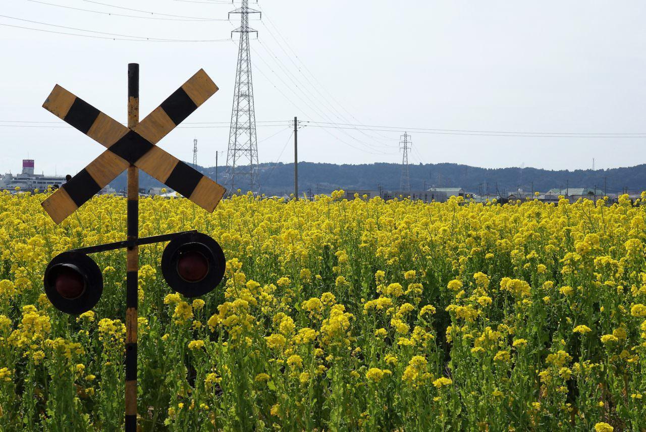 Nanabatake Road: Handpicking canola flowers in Kamogawa, Chiba