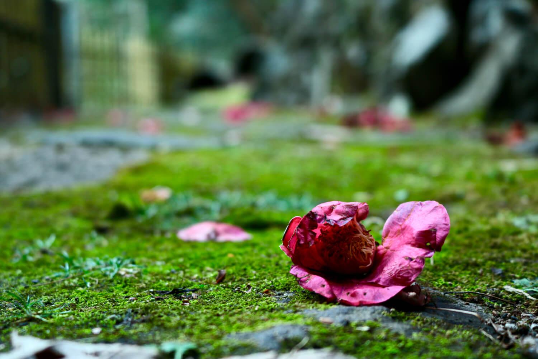 湯道に落ちた椿の花