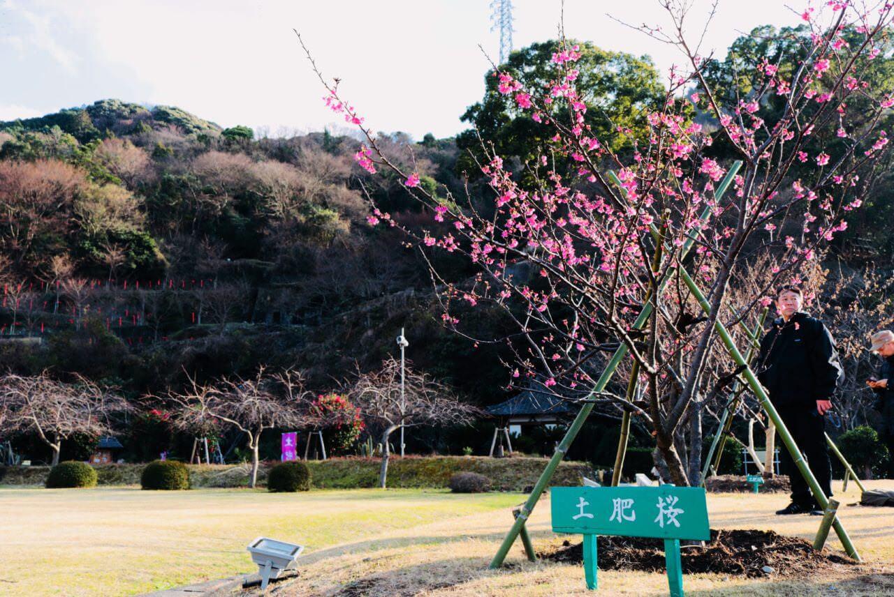 日本で最も早咲きと言われる土肥桜が開花! 「土肥桜まつり」が開催中