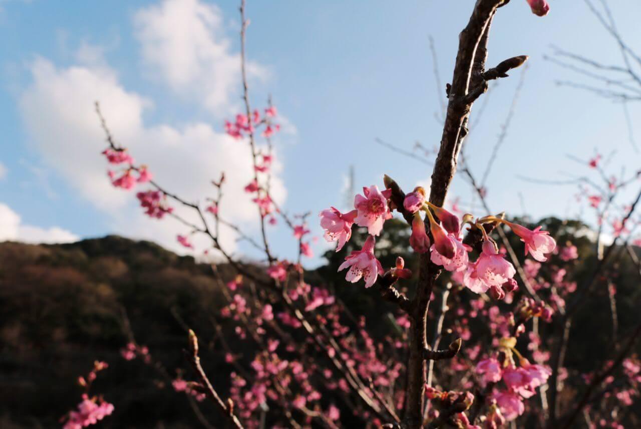 日本一早咲きの土肥桜を楽しむ「土肥桜まつり」が規模縮小して開催中