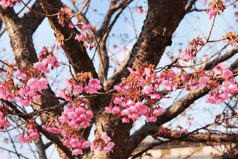 Toi sakura flowers
