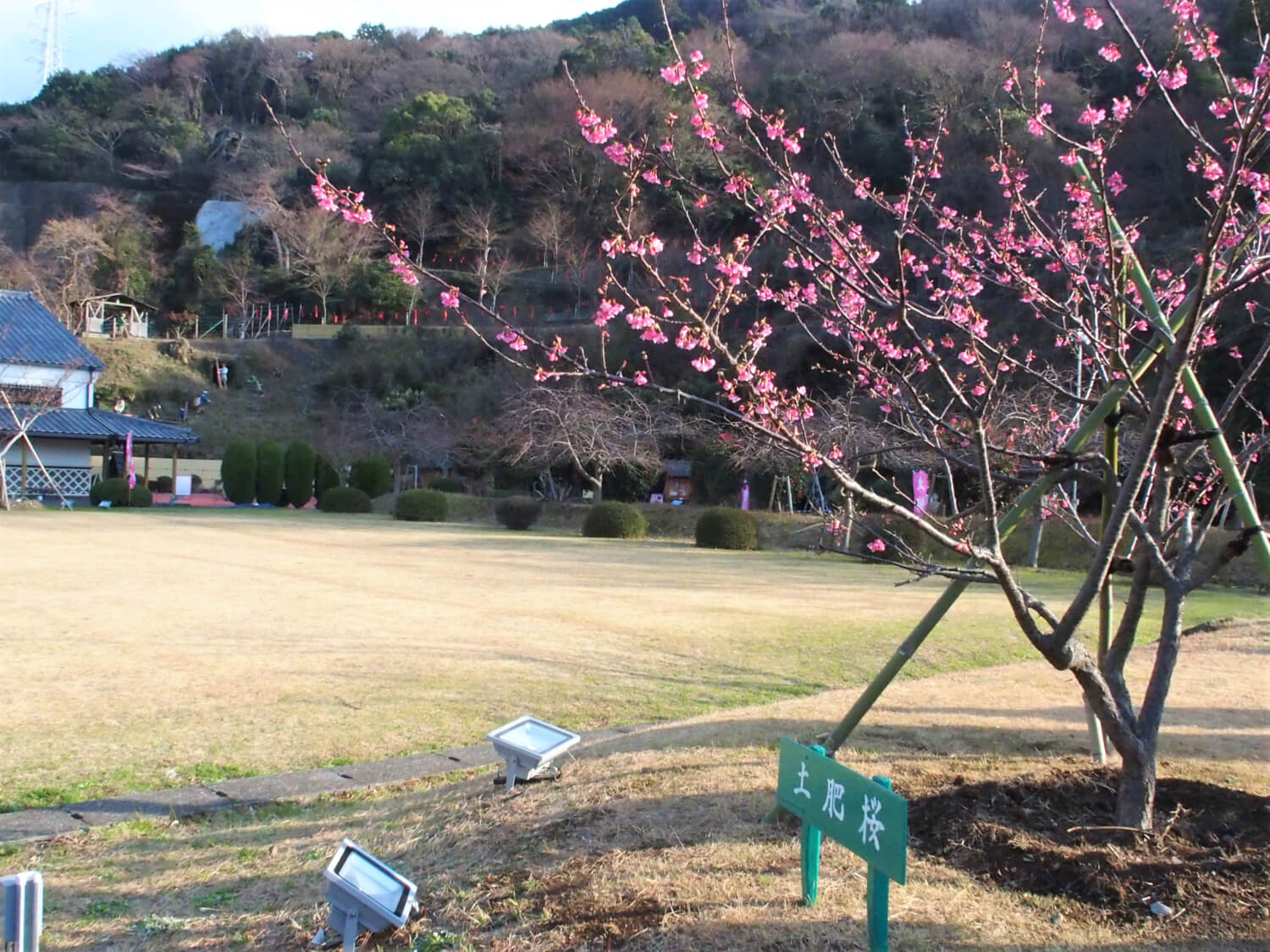 Toi Sakura tree
