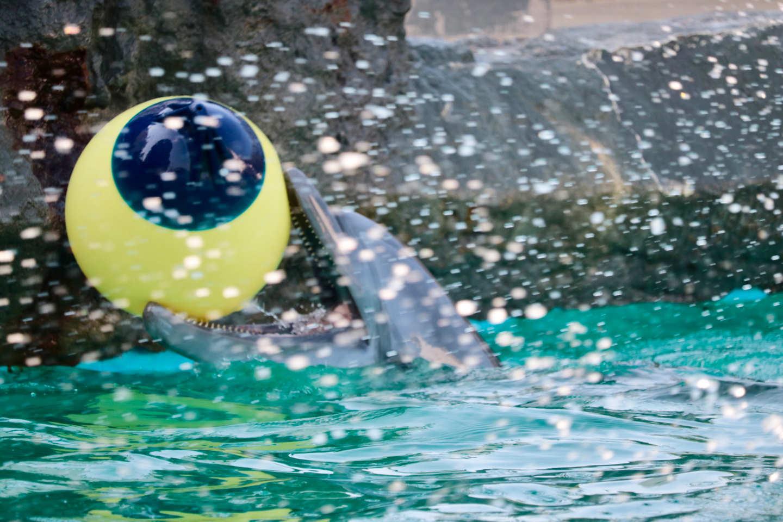 ボールと戯れるイルカ