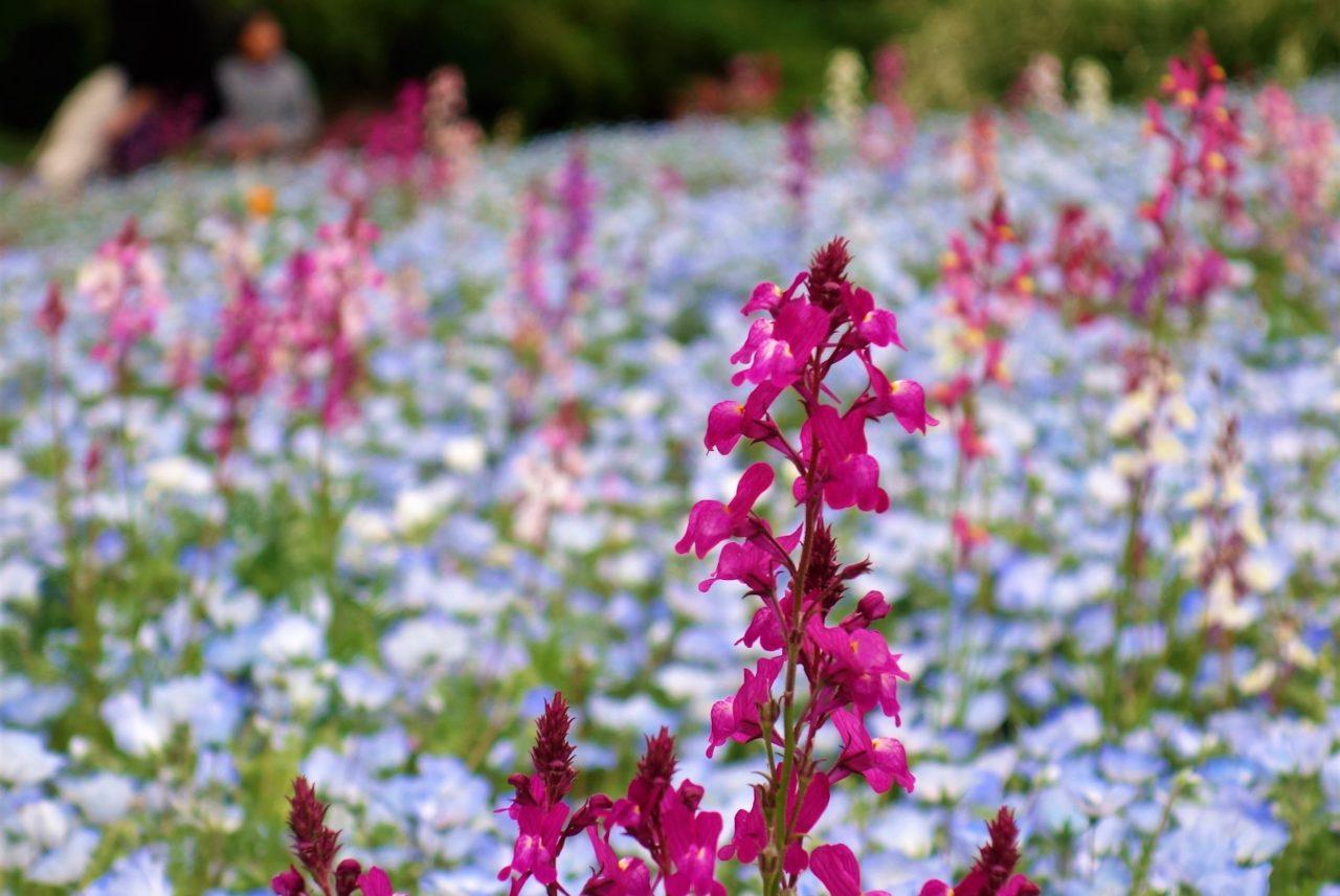 ネモフィラやチューリップ、パンジーなど綺麗なお花がたくさん! 東京・立川【国営昭和記念公園】