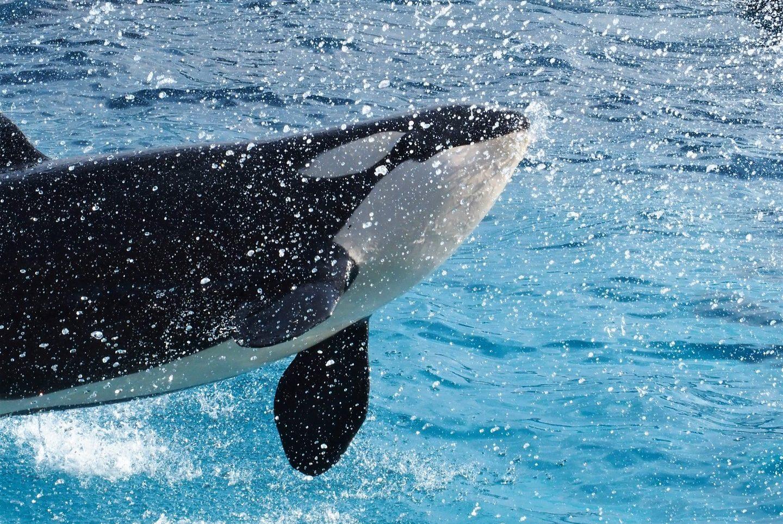 Killer whale performance at Kamogawa Sea World