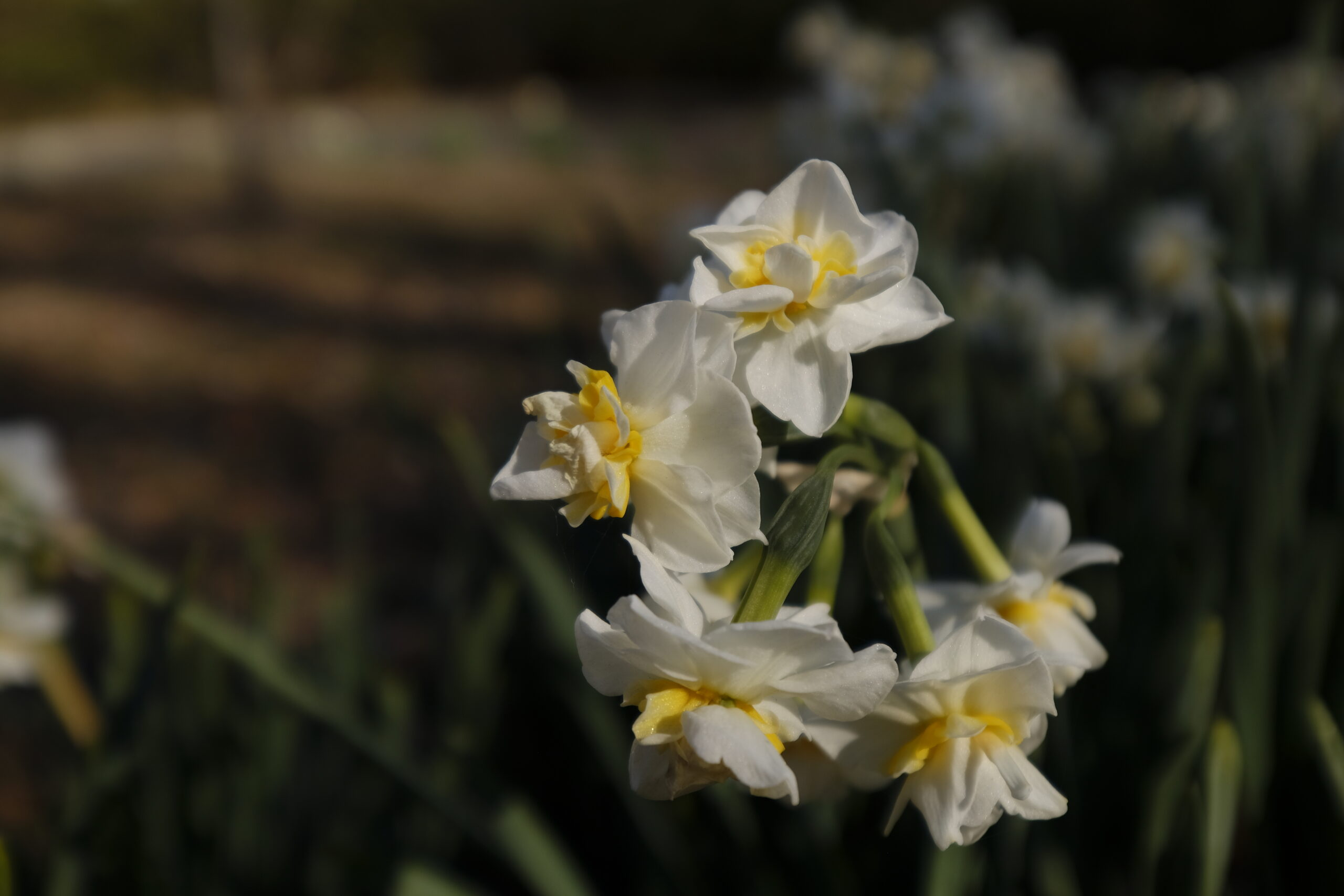 吾妻山公園の水仙の写真