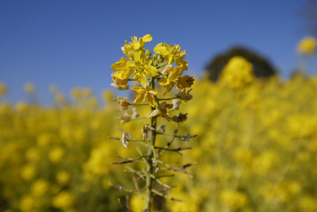 6万株の早咲きな菜の花を楽しむなら吾妻山公園へ