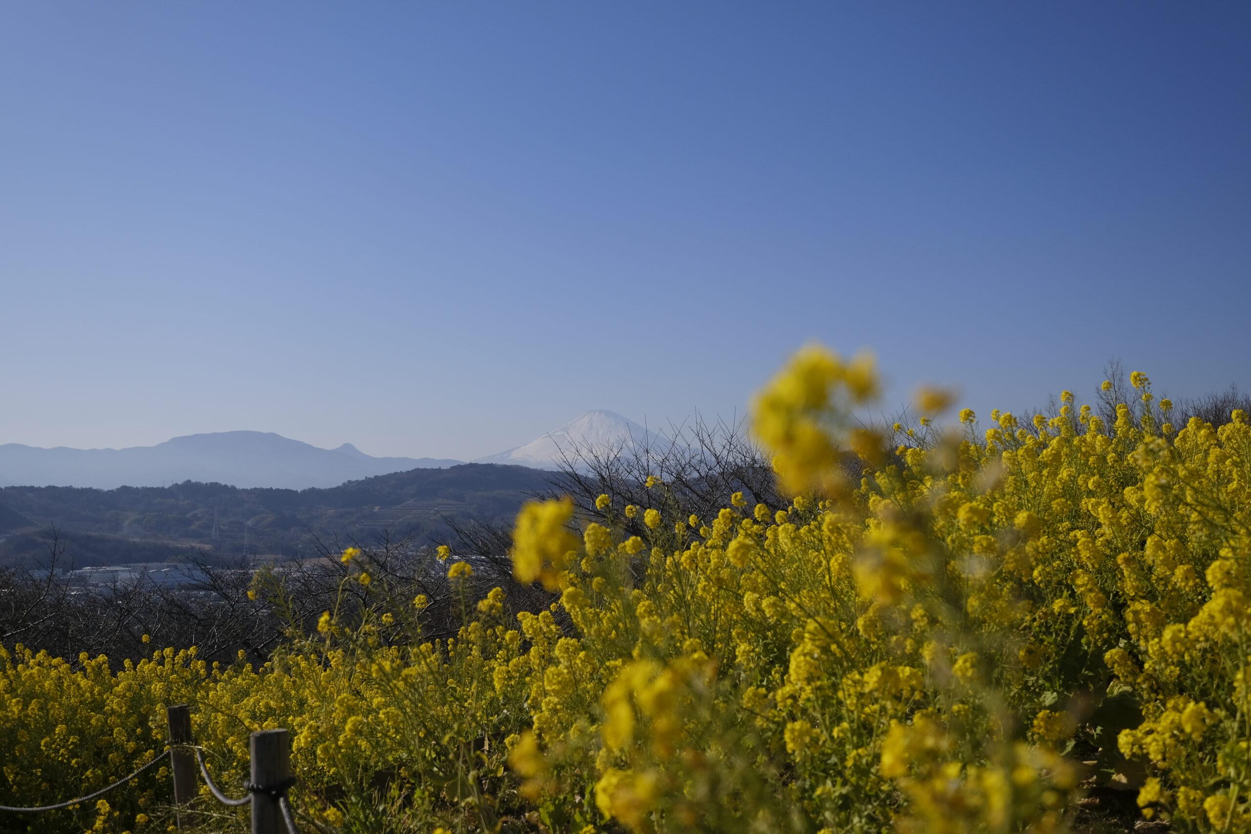 菜の花と富士山の写真