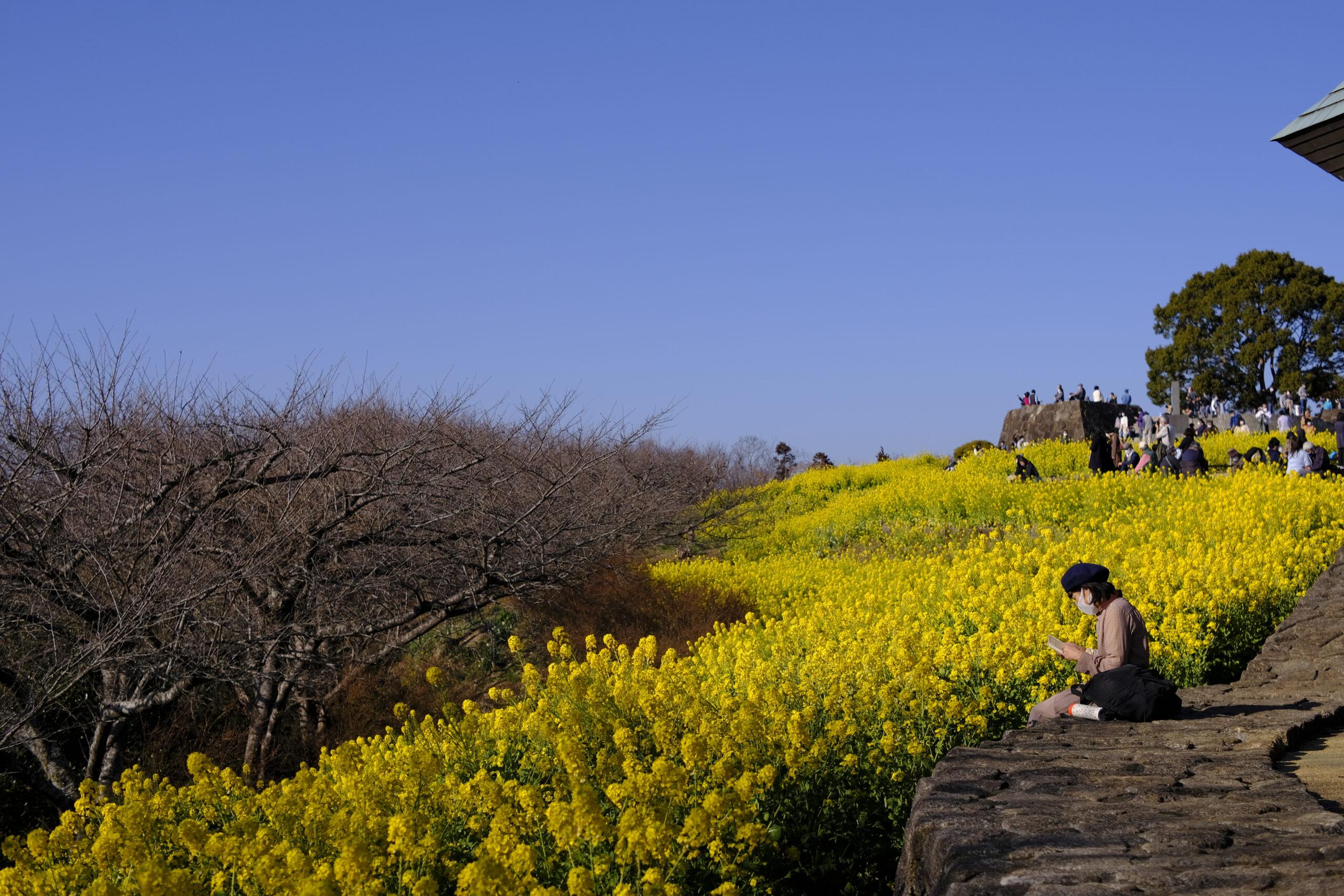 吾妻山公園菜の花畑の写真