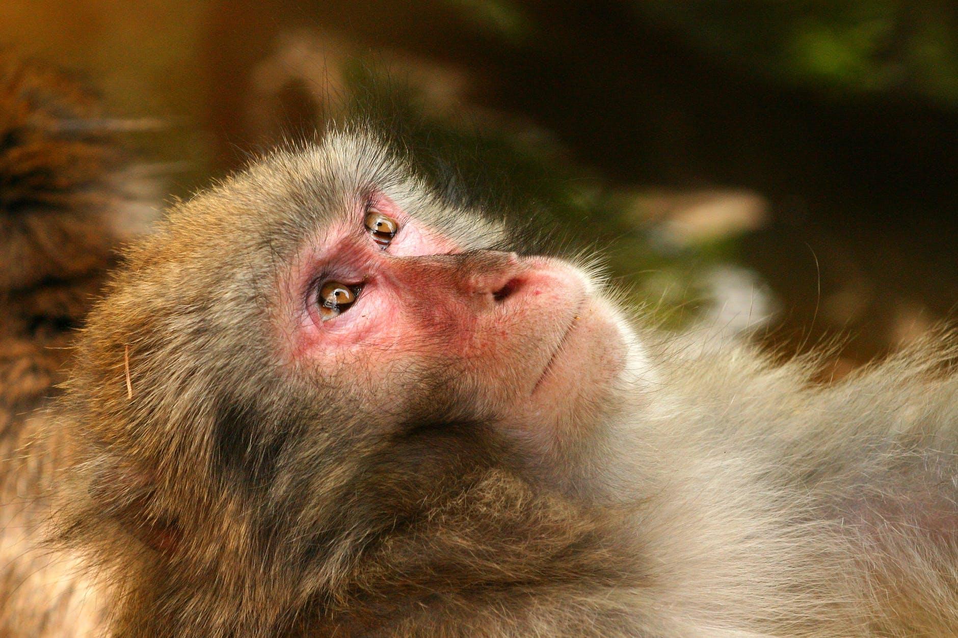 grey black white fur monkey lying with eyes open
